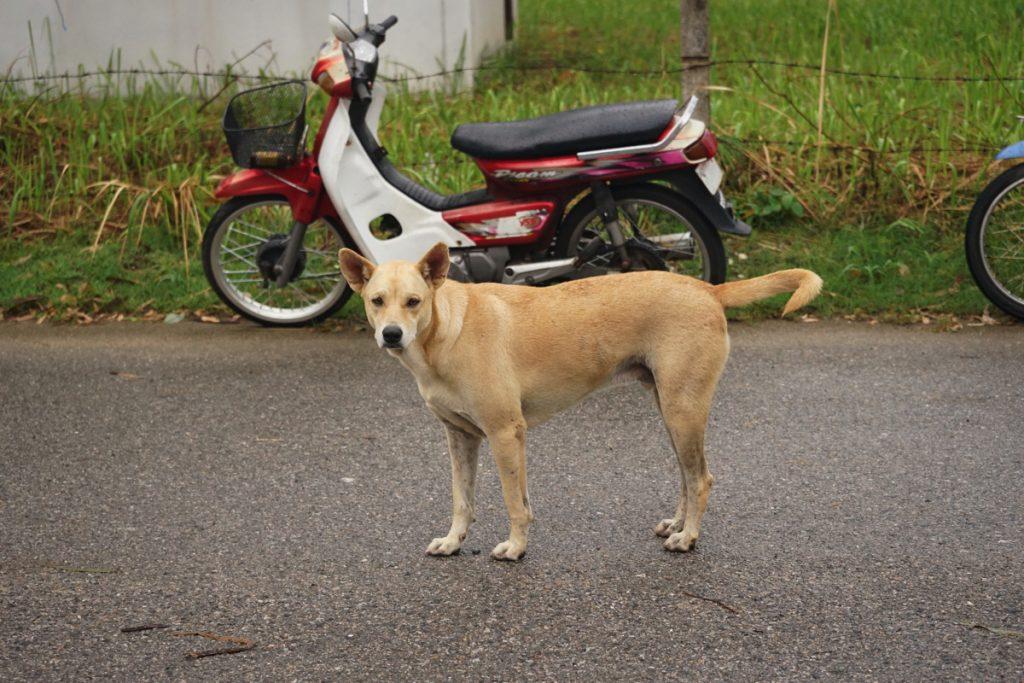 カオラック旅行記:バンニャン市場の野犬