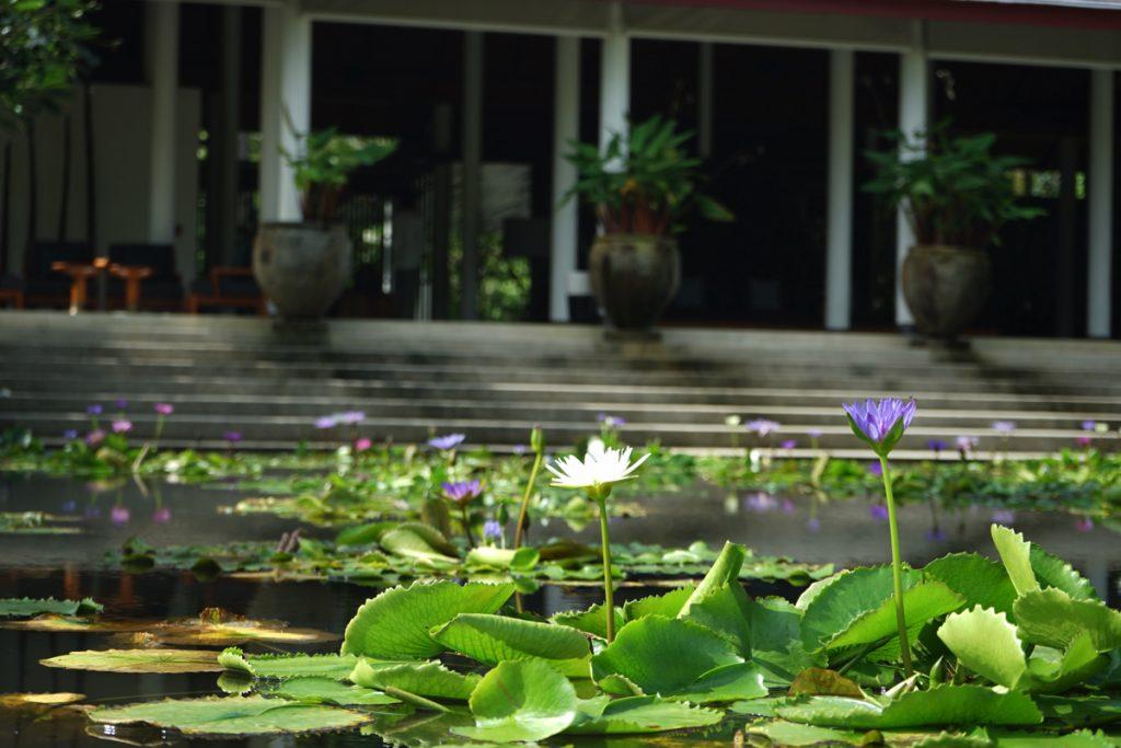 カオラック:サロジンの蓮の花