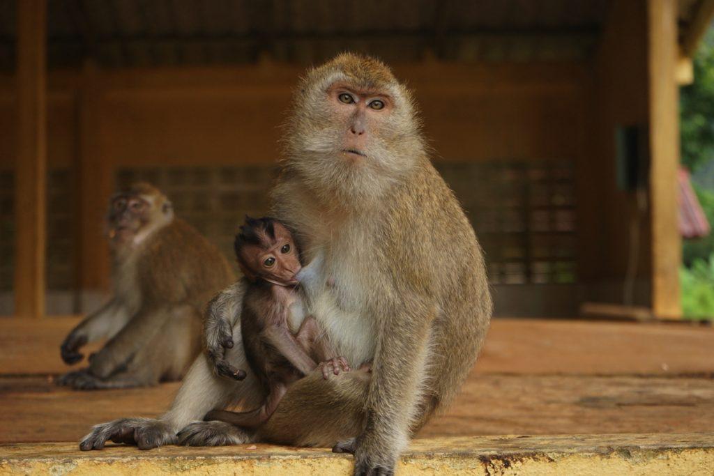 カオラックの猿は風格がある